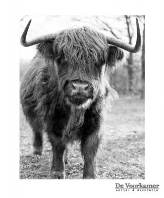 Schotse Hooglander, koe, koe met hoorns, stier, black and white, photo, foto, fotokunst, prints, betaalbaar, muurdecoratie, wallll, walll, wall, wal